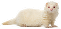 White Ferret Looking At The Camera Sticker
