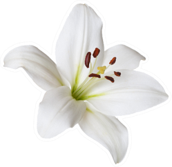 White Flower Light Lily Isolated Sticker