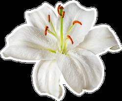 White Lily Flower Sticker