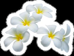 White Plumeria Flowers Isolated On White Sticker