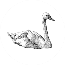 White Swan Sketch Isolated On White Sticker