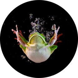 Whitelipped Frog In The Water Swimming Sticker