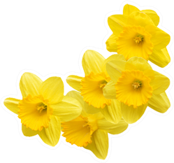 Yellow Daffodil Flower Bunch Sticker