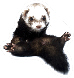 Young Beautiful Ferret Silly Sticker