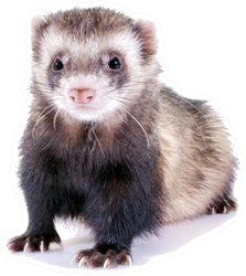 Young, Brown Ferret Sticker
