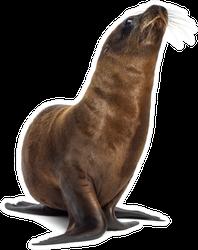 Young California Sea Lion Looking Upwards Sticker