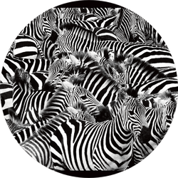 Zebra Herd Packed Tight Sticker