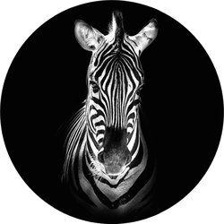 Zebra In Black Sticker