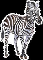 Zebra Isolated On White Background Sticker