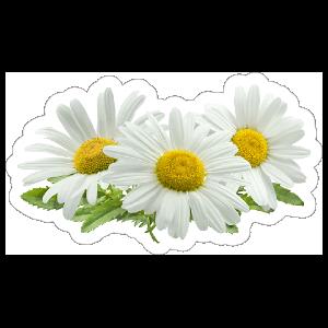 Common Daisies Flower Sticker