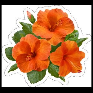 Pretty Orange Hibiscus Flower Sticker